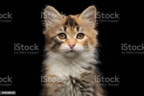 Siberian kitten on isolated black background picture id849268402?b=1&k=6&m=849268402&s=612x612&h=xftcyekg9j33fwgi4 nkyzybqosnah bw9y180ztfmw=