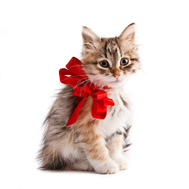 Siberian kitten with red ribbon stock photo