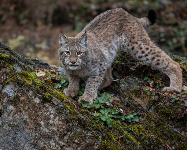 Siberian Lynx adult playing and posing in Fall colors stock photo