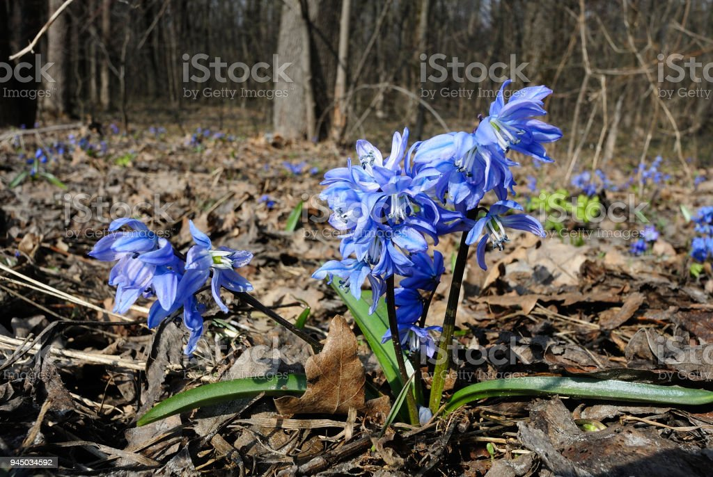 Siberian squill stock photo