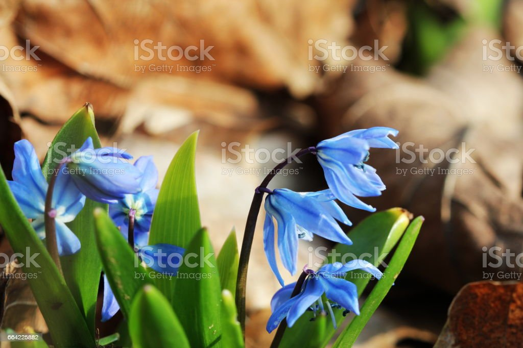 Siberian squill ,Scilla siberica blooming in March stock photo