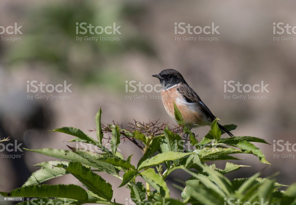 Siberian stonechat stock photo