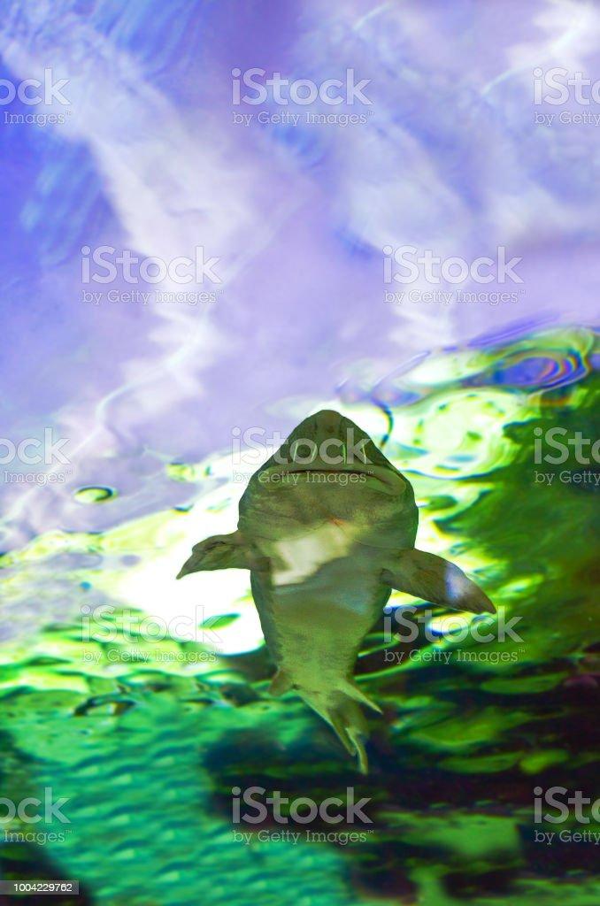 Siberian sturgeon (Acipenser baerii) stock photo