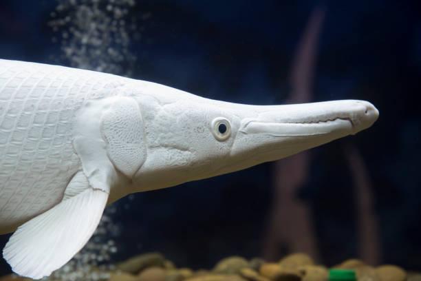 Siberian sturgeon (Acipenser baerii). stock photo
