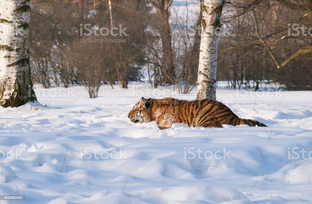 Siberian tiger ambush for prey - Panthera tigris altaica stock photo