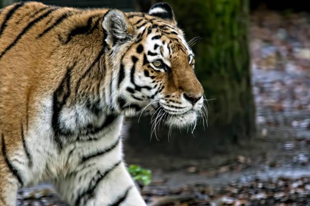 Sibirischer Tiger (Amurtiger) nah am Kopf – Foto
