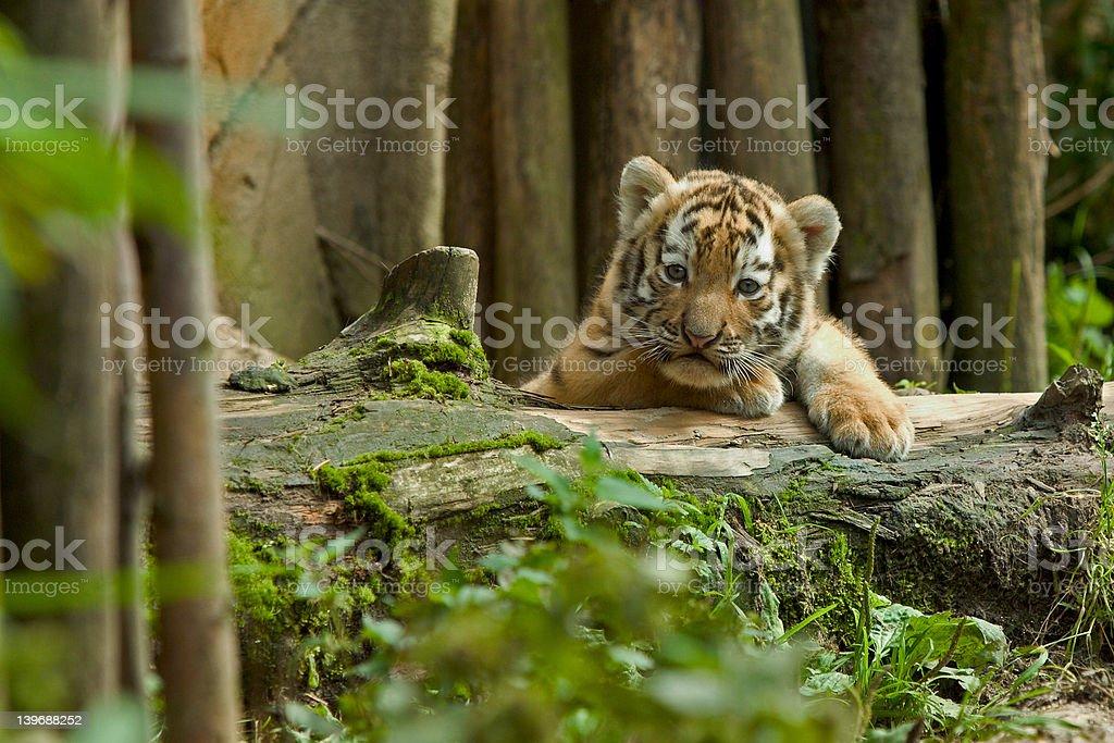 Siberian tiger cub at watch stock photo