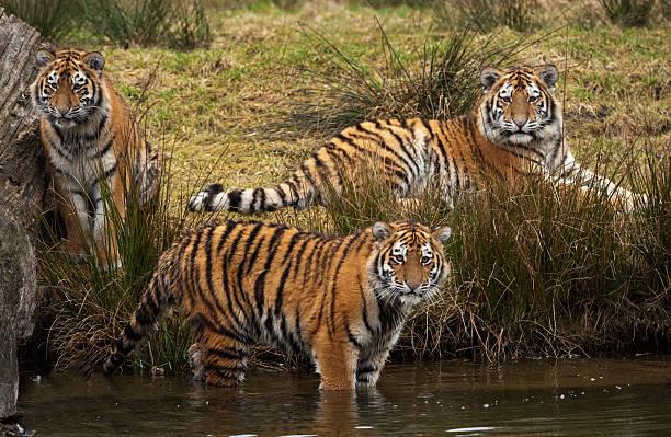 Siberian tiger cubs picture id146873664?b=1&k=6&m=146873664&s=612x612&w=0&h=htm3ybjrcfqxvbphoq2w7gn89uh6necazwxsxc f2xu=