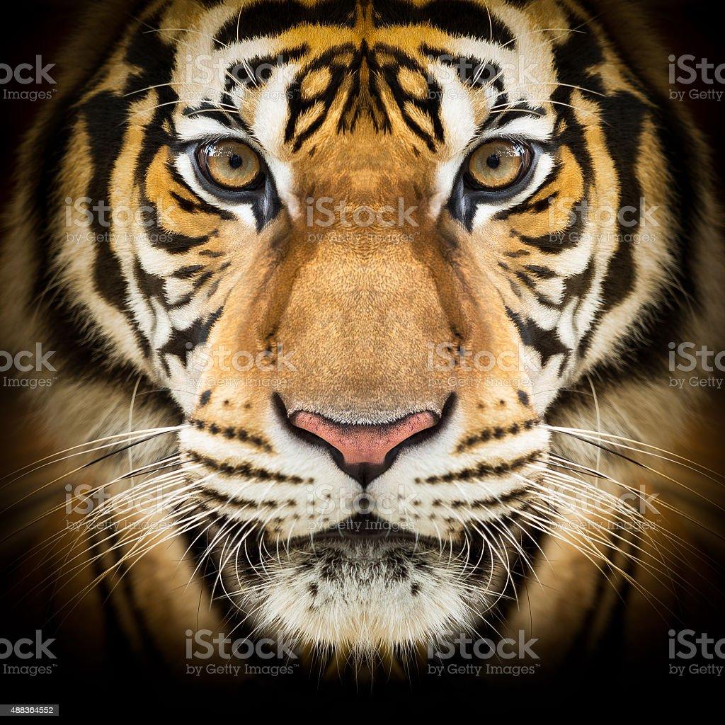 Siberian tiger face stock photo