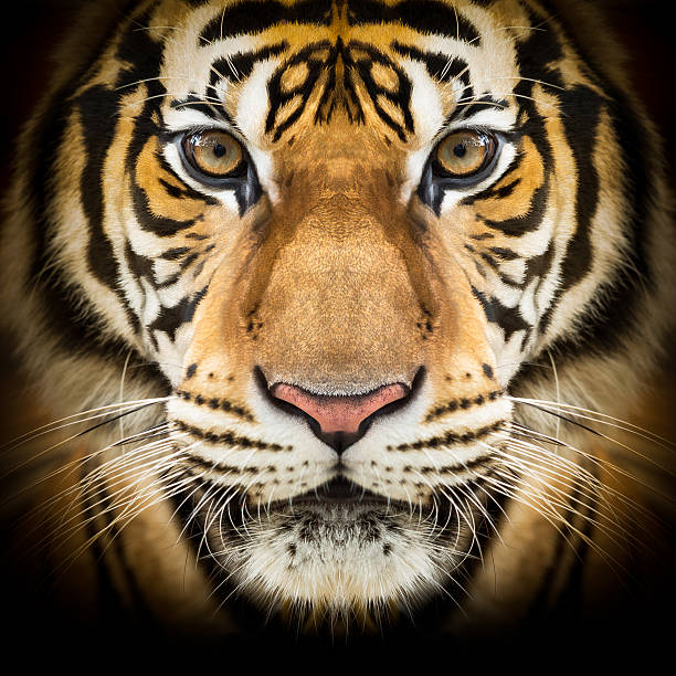 siberian tiger face - tiger stock photos and pictures