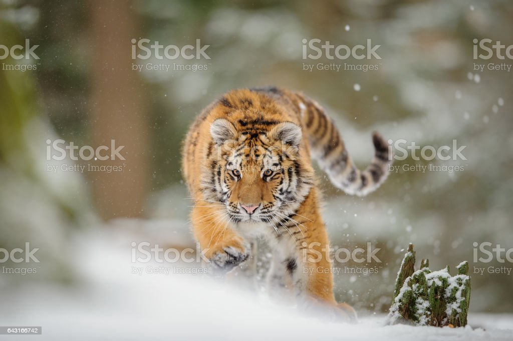Siberian tiger from front view, runing to hunt down prey in winter on snow. stock photo