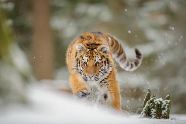 Sibirischer Tiger aus Vorderansicht, Runing auf die Jagd nach Beute im Winter auf Schnee. – Foto