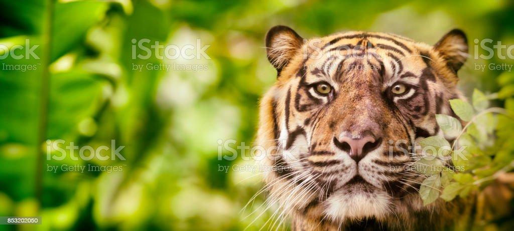 Siberian tiger headshot looking at camera in jungle stock photo