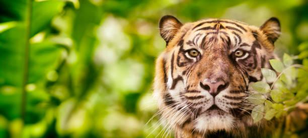 Tête de tigre de Sibérie en regardant la caméra dans la jungle - Photo