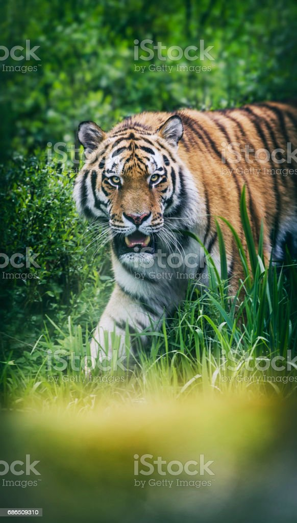 Siberian tiger headshot sideview zbiór zdjęć royalty-free