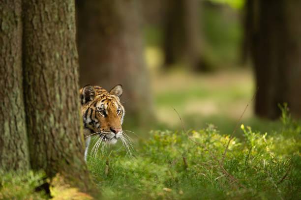 Siberian tiger hidden behind tree. Closeup head of dangerous animal taken look aside. stock photo