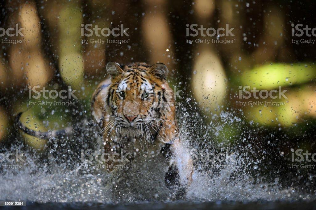 Sibirische Tiger Jagd im Fluss von Closeup Vorderansicht – Foto
