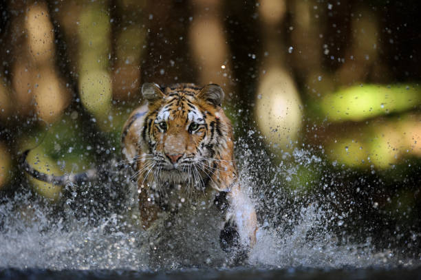 Siberian tiger hunting in the river from closeup front view stock photo