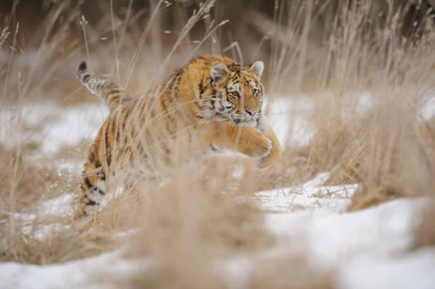 Sibirischer Tiger im Sprung zwischen den gelben Grases mit Schnee im Winter. – Foto