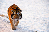 A Siberian Tiger walks through a snowy field in northern China.