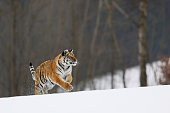 Siberian Tiger run. Typical winter environment with birche trees in background. Taiga  russia. Panthera tigris altaica
