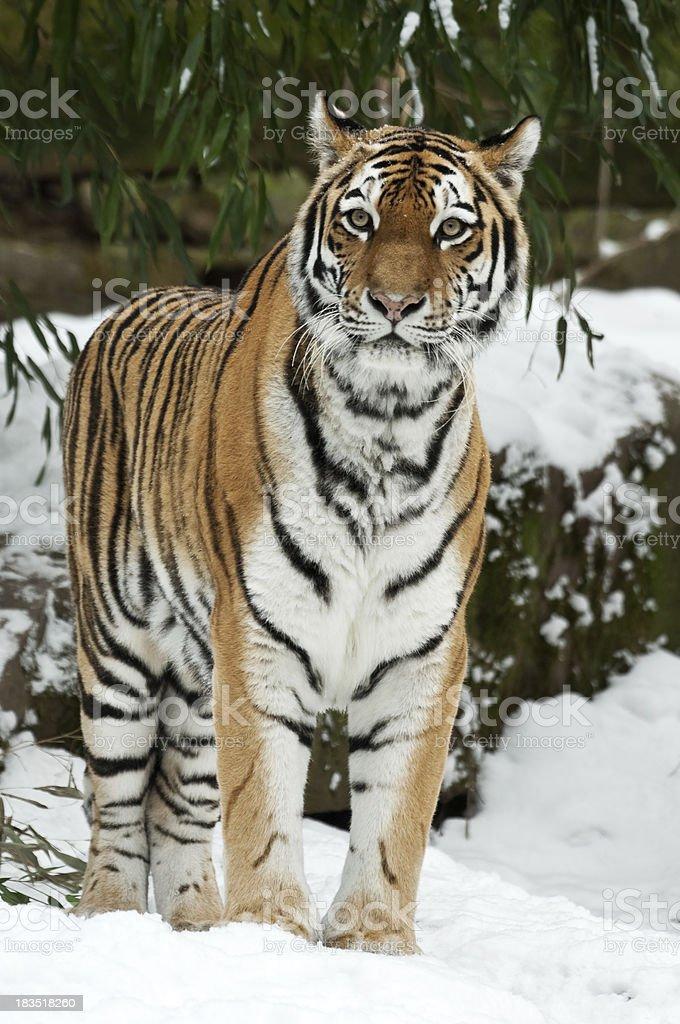 シベリア虎冬 - シベリアトラのストックフォトや画像を多数ご用意 - iStock
