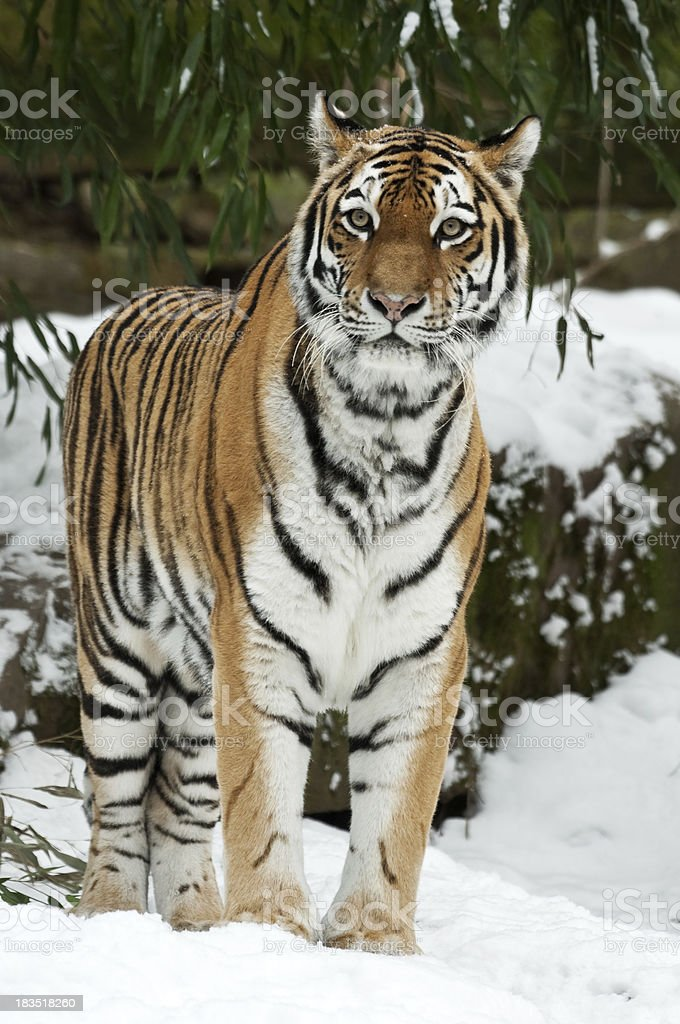 Siberian Tiger In Winter stock photo