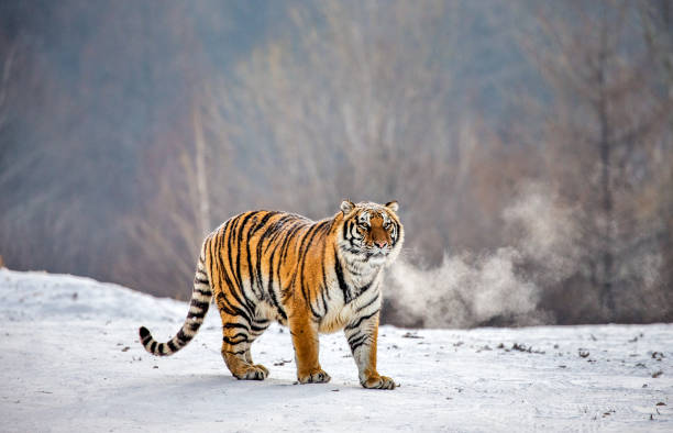 Siberian (Amur) tiger is standing on a snowy glade in a hard frost. China. Harbin. Mudanjiang province. Hengdaohezi park. Siberian Tiger Park. Winter. Hard frost. stock photo