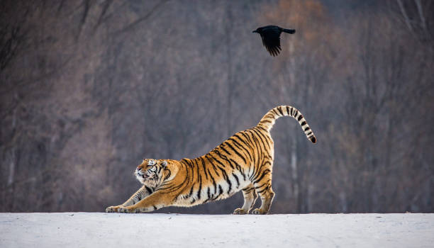 Siberian (Amur) tiger is stretching while standing on a snowy meadow against the background of a winter forest. China. Harbin. Mudanjiang province. Hengdaohezi park. Siberian Tiger Park. stock photo