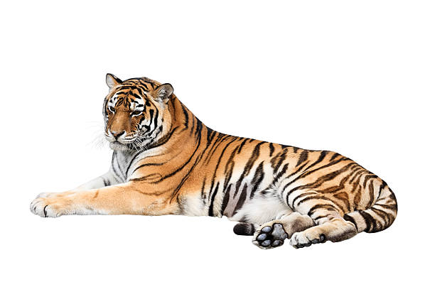 Siberian tiger isolated on white background picture id475631771?b=1&k=6&m=475631771&s=612x612&w=0&h=5u0pyxln7llo alwlapp5sux5fjg58pvkhx1ocdxqvm=