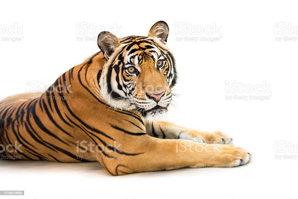Siberian tiger isolated stock photo