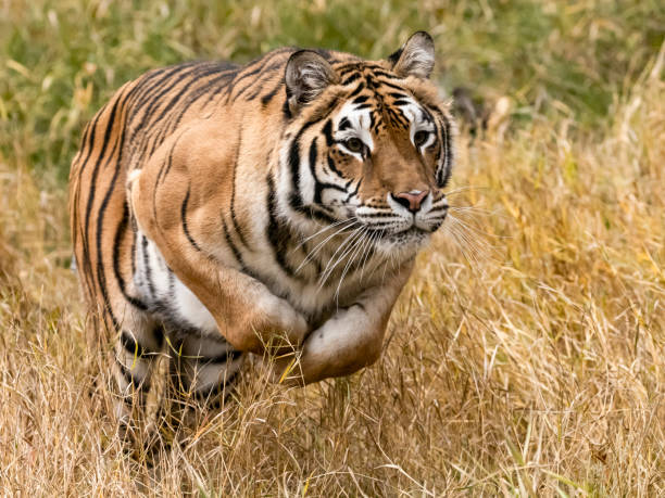 Siberian Tiger Leaping in Natural Setting Captive stock photo
