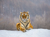 Siberian (Amur) tiger lying on a snow-covered hill. Portrait against the winter forest. China. Harbin. Mudanjiang province. Hengdaohezi park. Siberian Tiger Park. Winter. Hard frost. (Panthera tgris altaica)