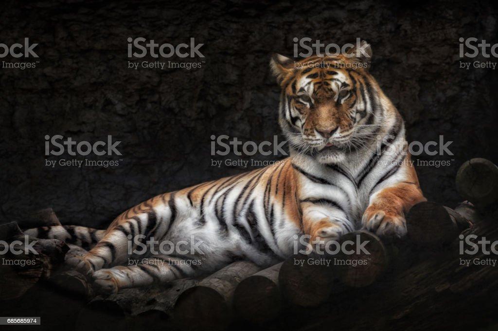 西伯利亞虎躺在一座木橋上 免版稅 stock photo