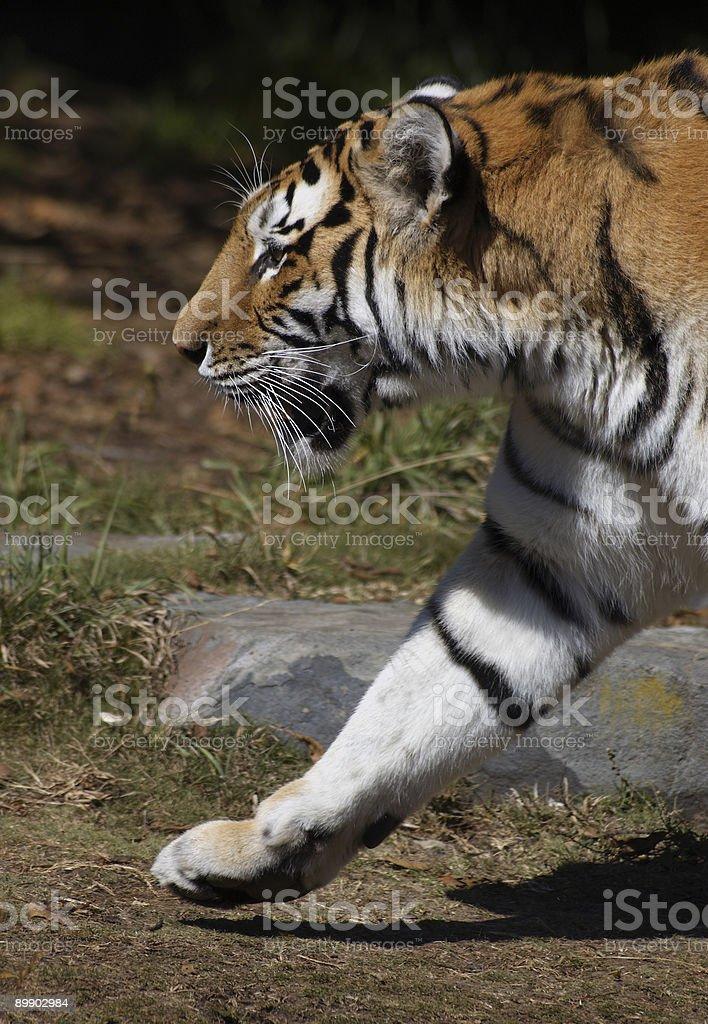 Sibirischer tiger Marken Lizenzfreies stock-foto
