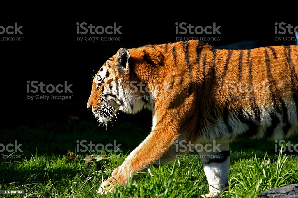 Siberian Tiger on the prowl stock photo