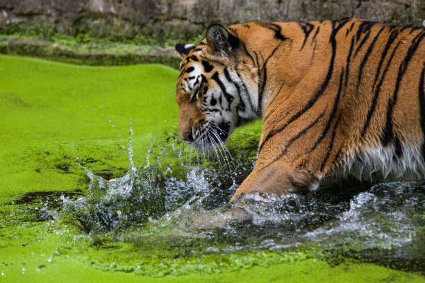 siberian tiger - wildlife conservation stock photos and pictures