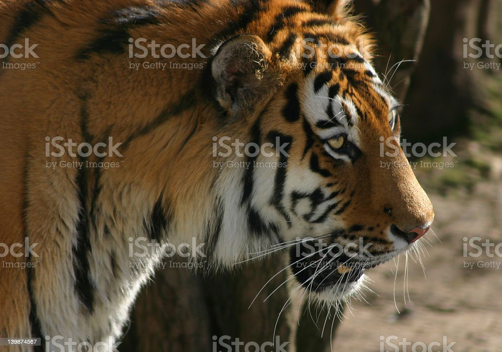 Siberian Tiger royalty-free stock photo