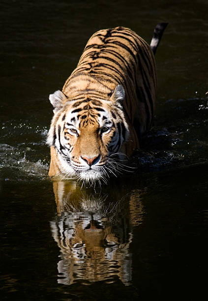 Royalty Free Tiger Face Pictures, Images and Stock Photos ...