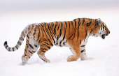 a siberian tiger walks through the snow