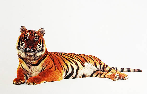 Siberian tiger stock photo