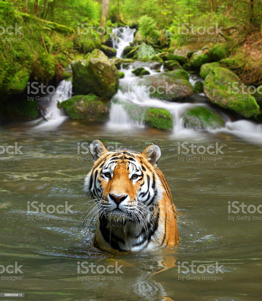Sibirischer Tiger  – Foto