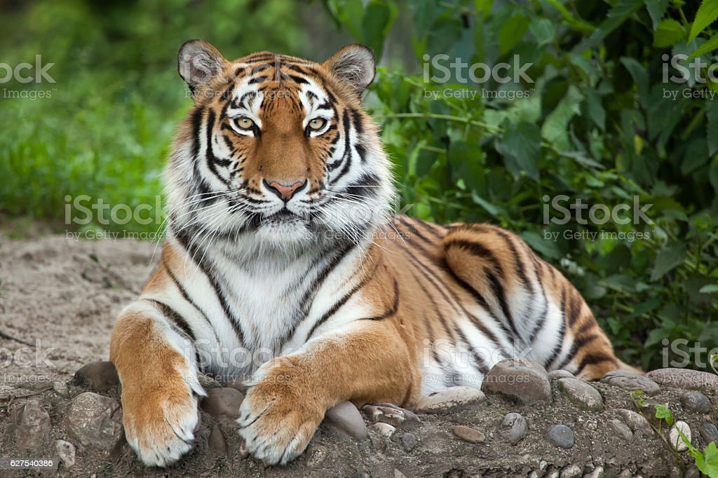 Siberian tiger (Panthera tigris altaica) stock photo