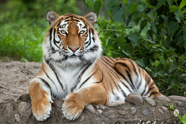 siberian tiger (panthera tigris altaica) - tiger stock photos and pictures