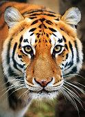 Beautiful close up portrait of a Siberian tiger (Panthera tigris tigris), also called Amur tiger