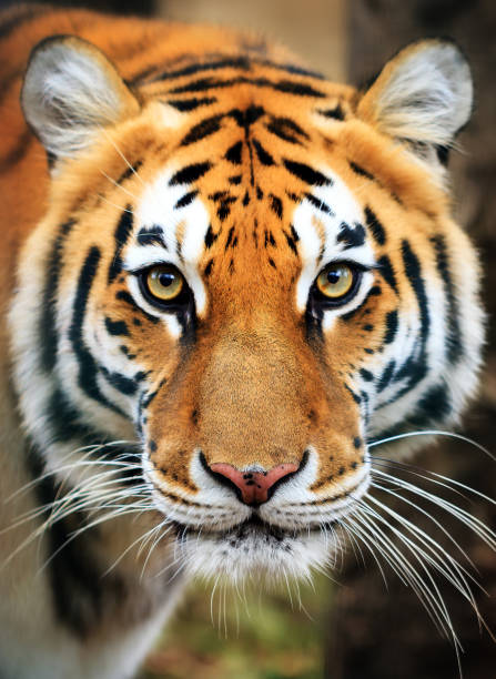 siberian tiger portrait - big cat stock pictures, royalty-free photos & images