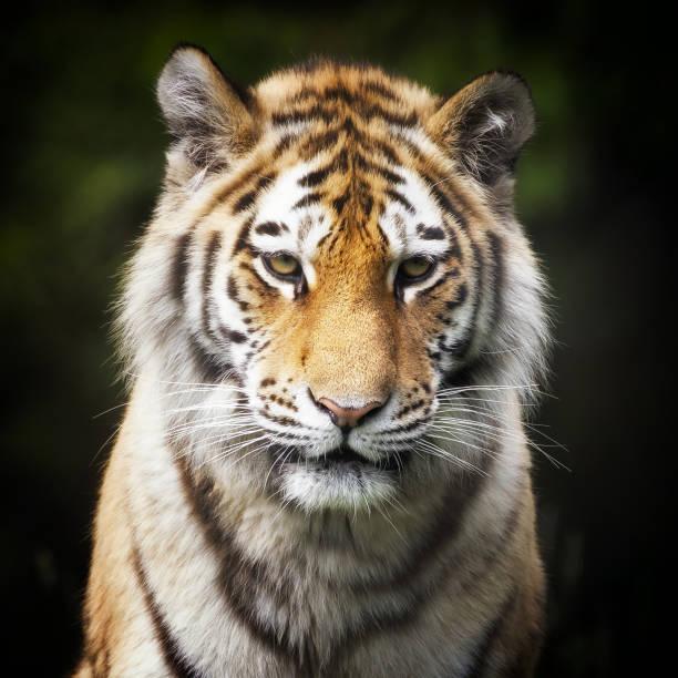 Siberian tiger portrait picture id686192596?b=1&k=6&m=686192596&s=612x612&w=0&h=nx6sz7mzampw2ecamhsifc3wxsfshpzhhux0kpbycec=