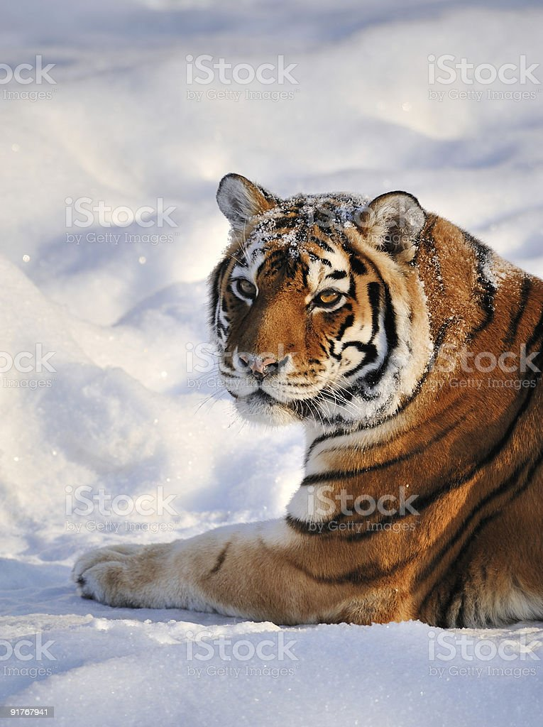 Siberian Tiger rest on Snow royalty-free stock photo