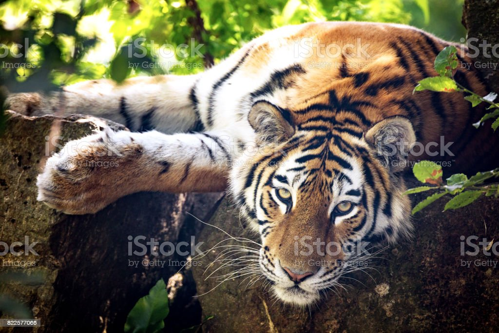 Siberian tiger resting in the undergrowth stock photo