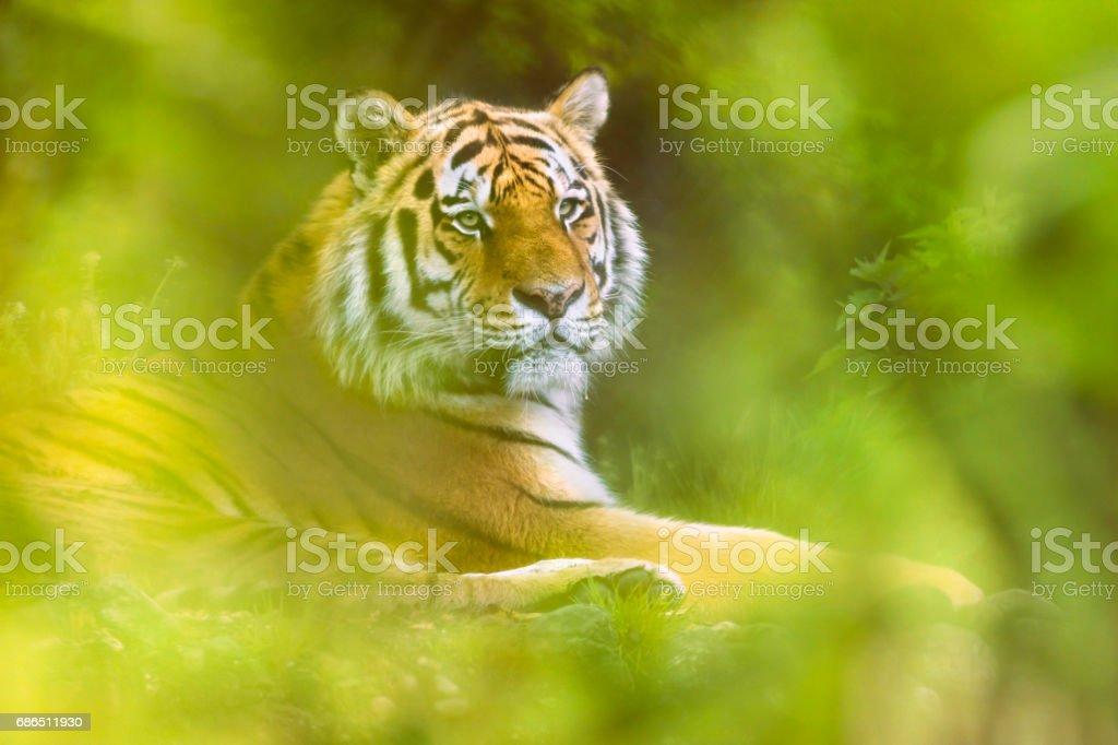 Siberische tijger rusten op vloer liggen royalty free stockfoto